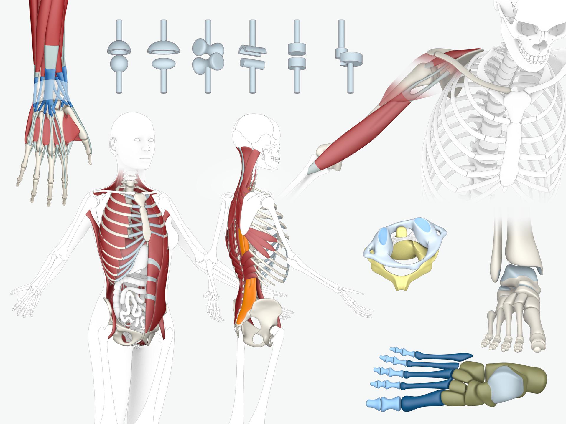 Hannes Fuß – Abbildungen Anatomie für E-Learning