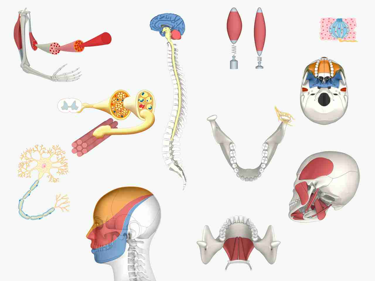 Anatomical Illustrations for eLearning